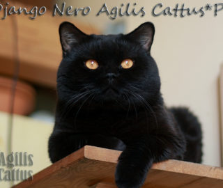 IC Django Nero Agilis Cattus*PL